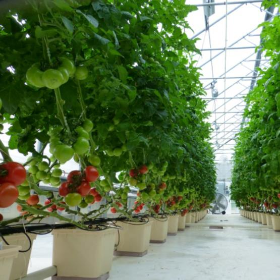 Popular Greenhouse Dutch Buckets Hydroponics