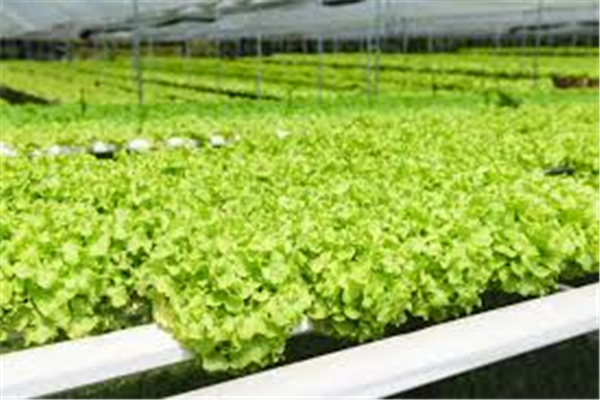 Hydroponics Plants Growing Agriculture/ Commercial Hydroponic Greenhouse Systems